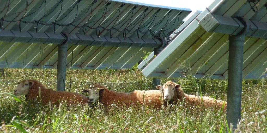 Schapen in een mooi bloemig grasland onder zonnepanelen.